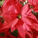 La stella di Natale: la pianta per eccellenza del periodo invernale